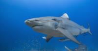 Photo From The Awakening Shark Dive
