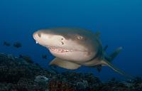 vignaudthomas-shark1-hr